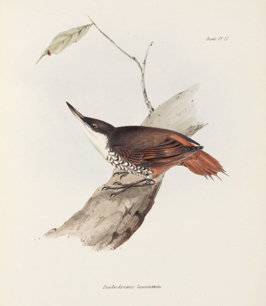 Bird with striped plumage, c 1832-1836. : Stock Photo