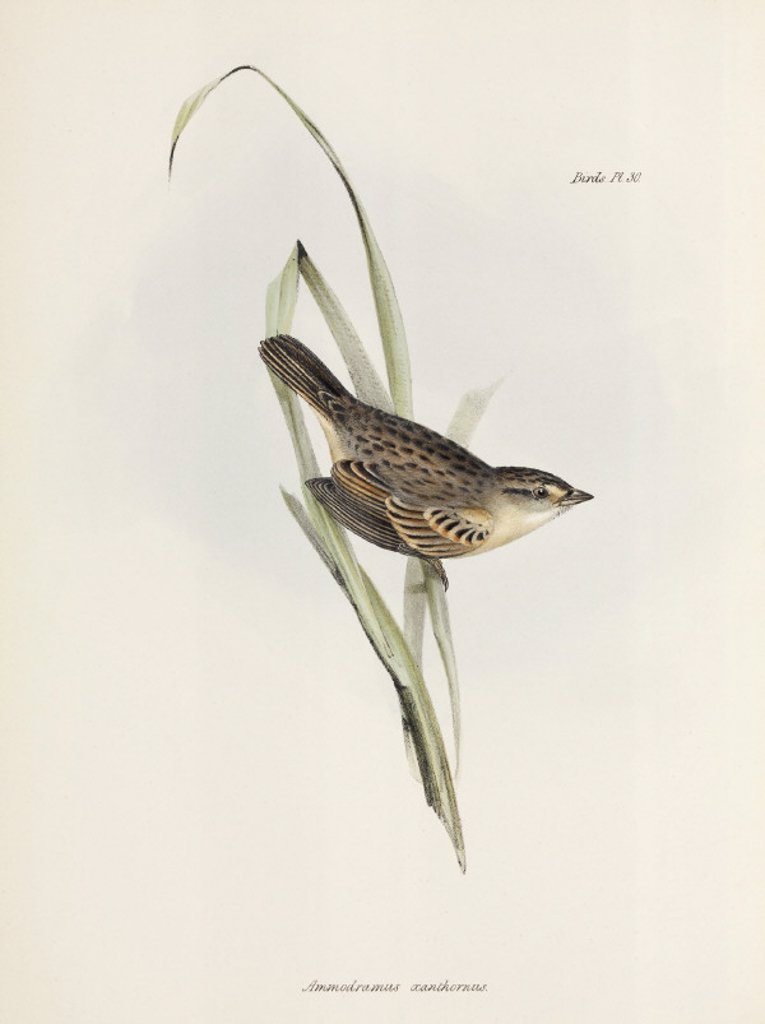 Sparrow or finch, c 1832-1836. : Stock Photo