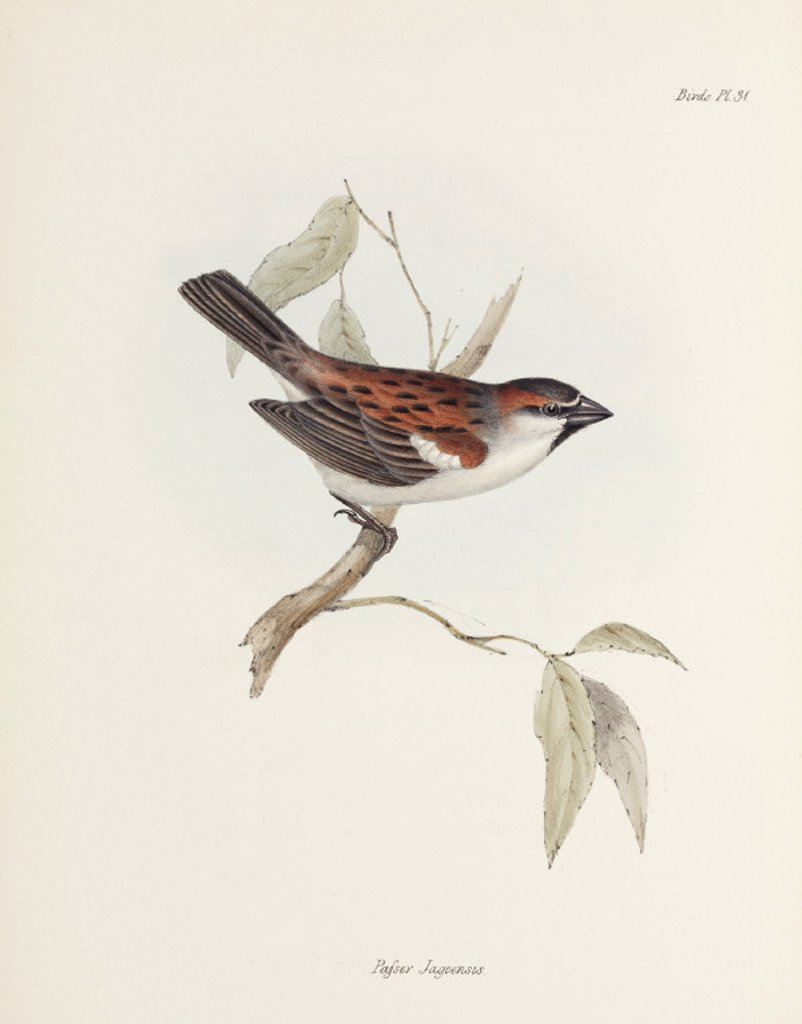 Stock Photo: 1895-28841 Sparrow, c 1832-1836.
