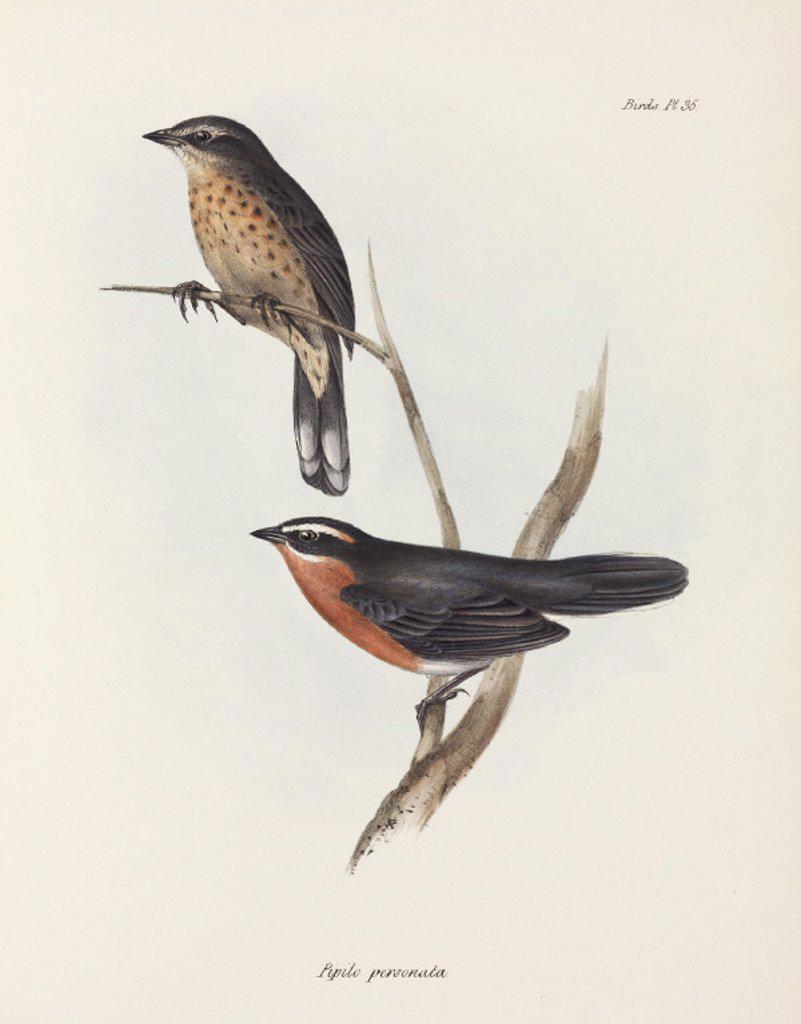 Pipilo personata, c 1832-1836. : Stock Photo
