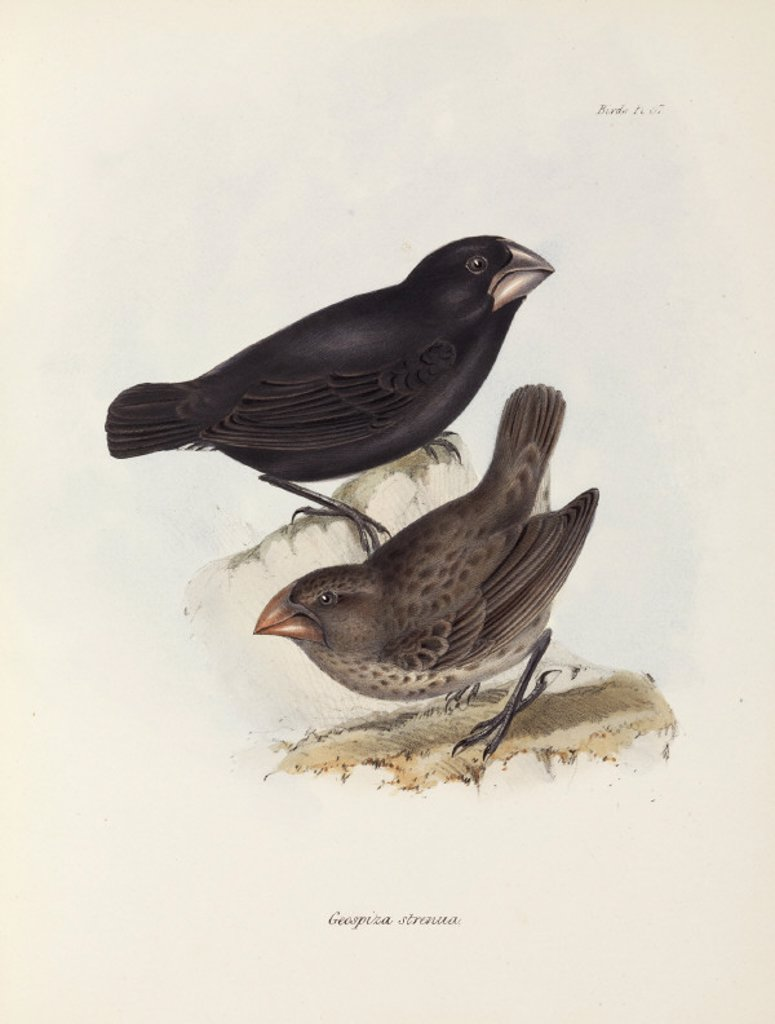 Stock Photo: 1895-28847 Pair of finches, Galapagos Islands, c 1832-1836.