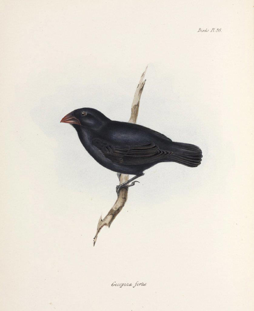 Medium Ground Finch, Galapagos Islands, c 1832-1836. : Stock Photo