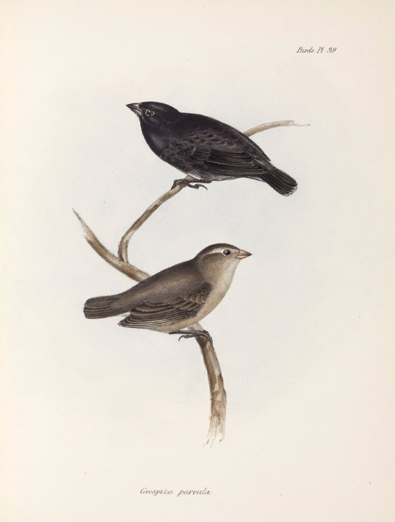 Stock Photo: 1895-28849 Pair of Small Tree Finches, Galapagos Islands, c 1832-1836.