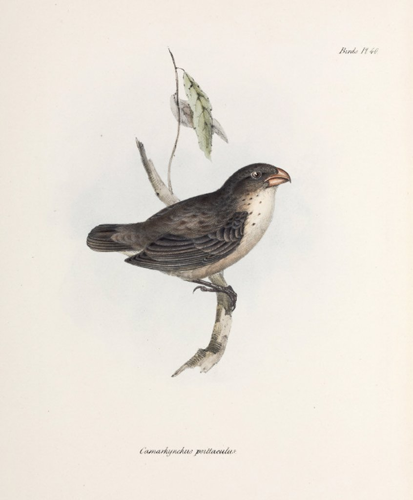 Finch, c 1832-1836. : Stock Photo