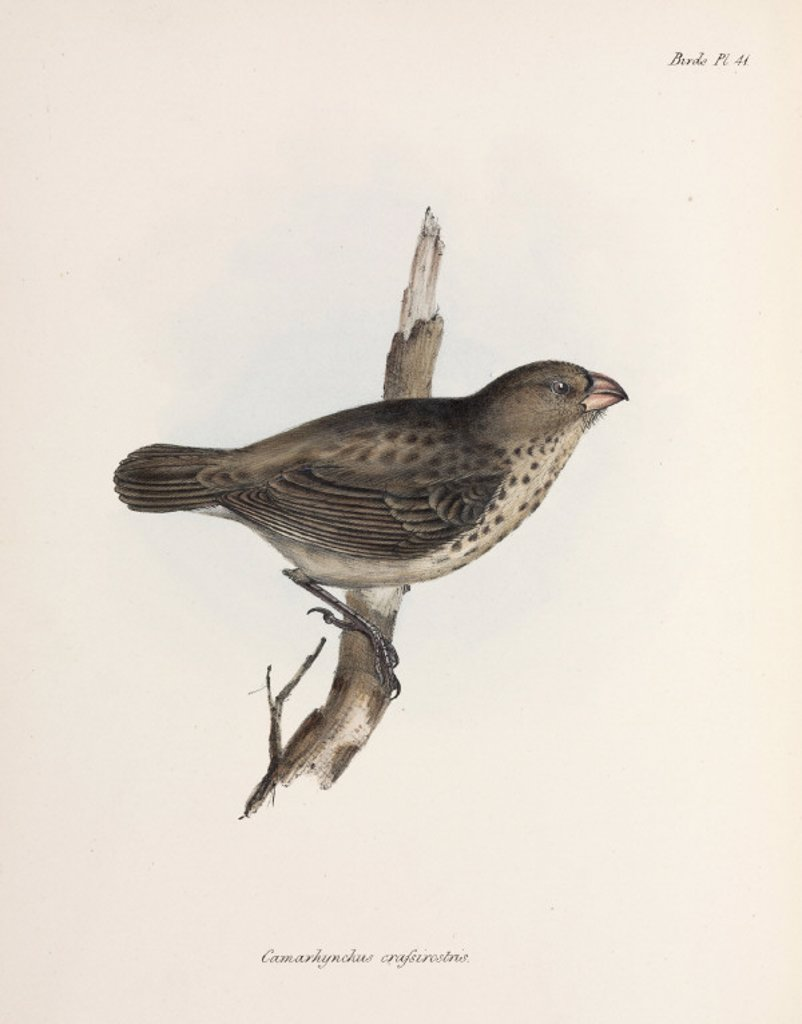 Vegetarian Finch, Galapagos Islands, c 1832-1836. : Stock Photo