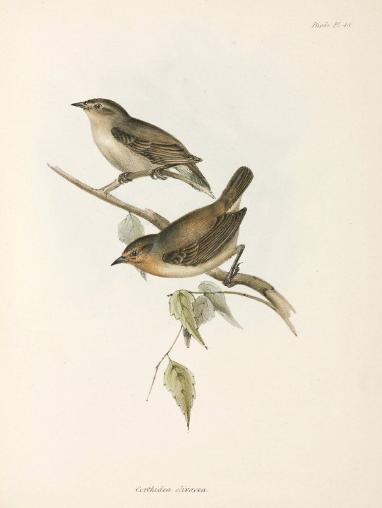Stock Photo: 1895-28854 Pair of Warbler Finches, Galapagos Islands, c 1832-1836.