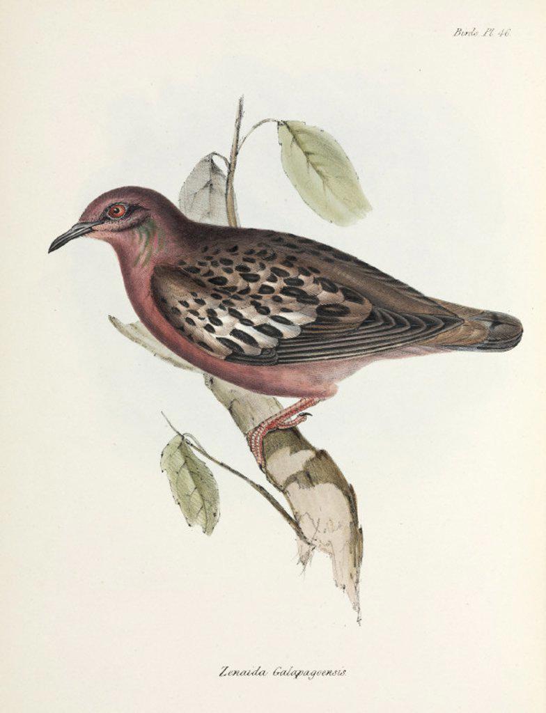 Stock Photo: 1895-28856 Galapagos Dove, Galapagos Islands, c 1832-1836.