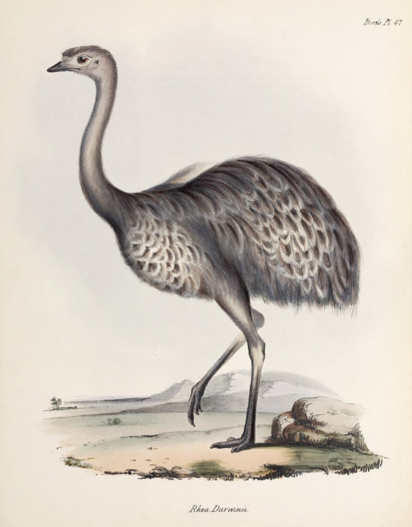 Rhea, South America, c 1832-1836. : Stock Photo