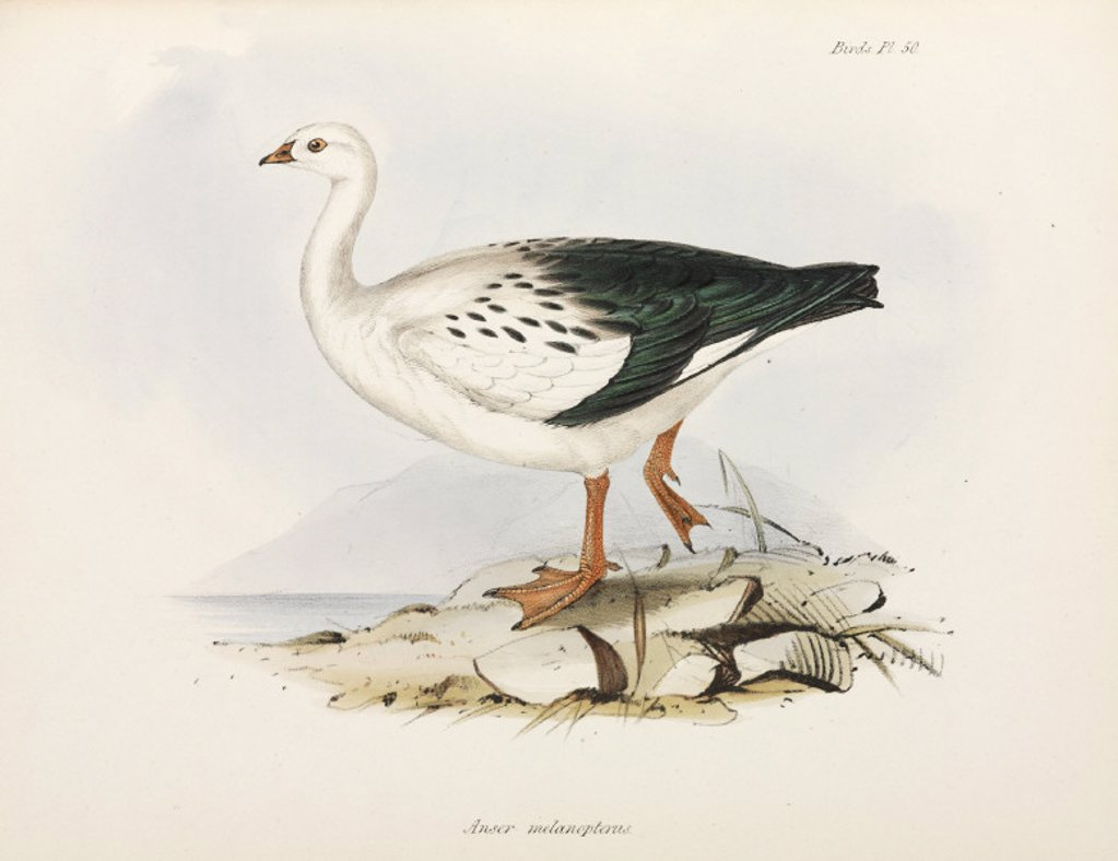 Stock Photo: 1895-28860 Goose, South America, c 1832-1836.