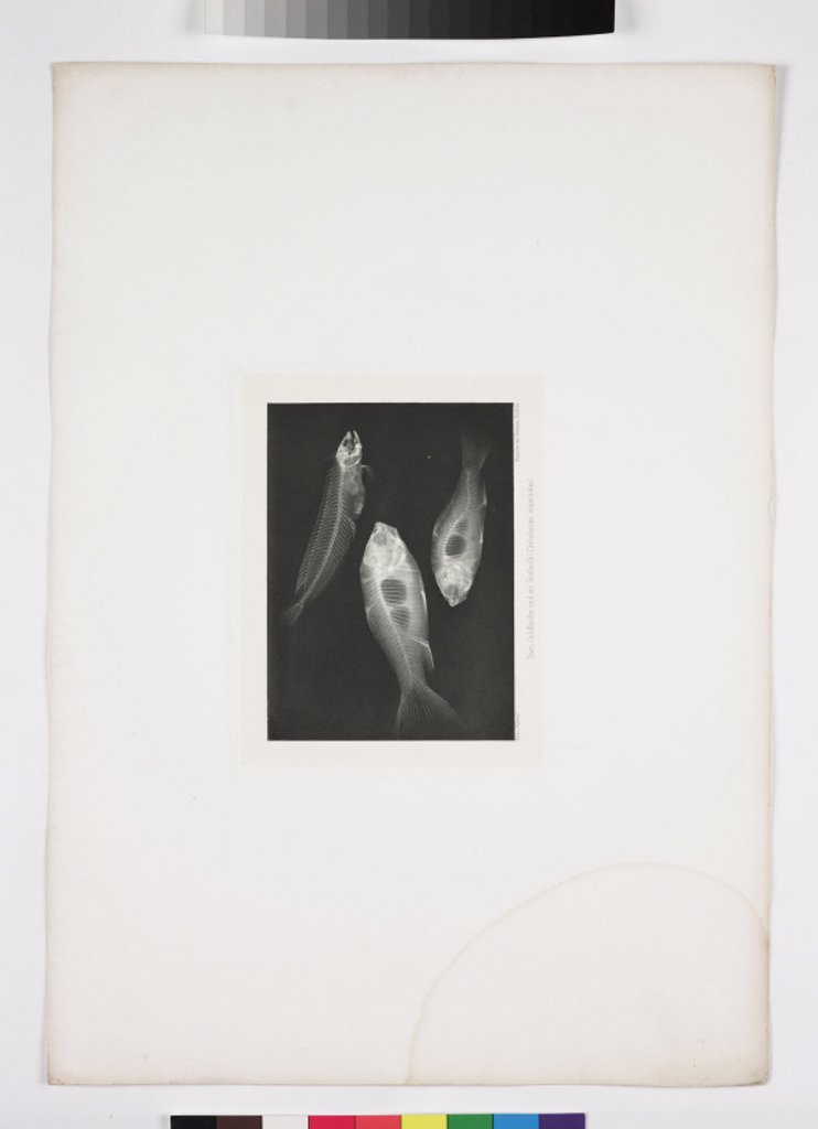 X-ray of fish, 1896. : Stock Photo
