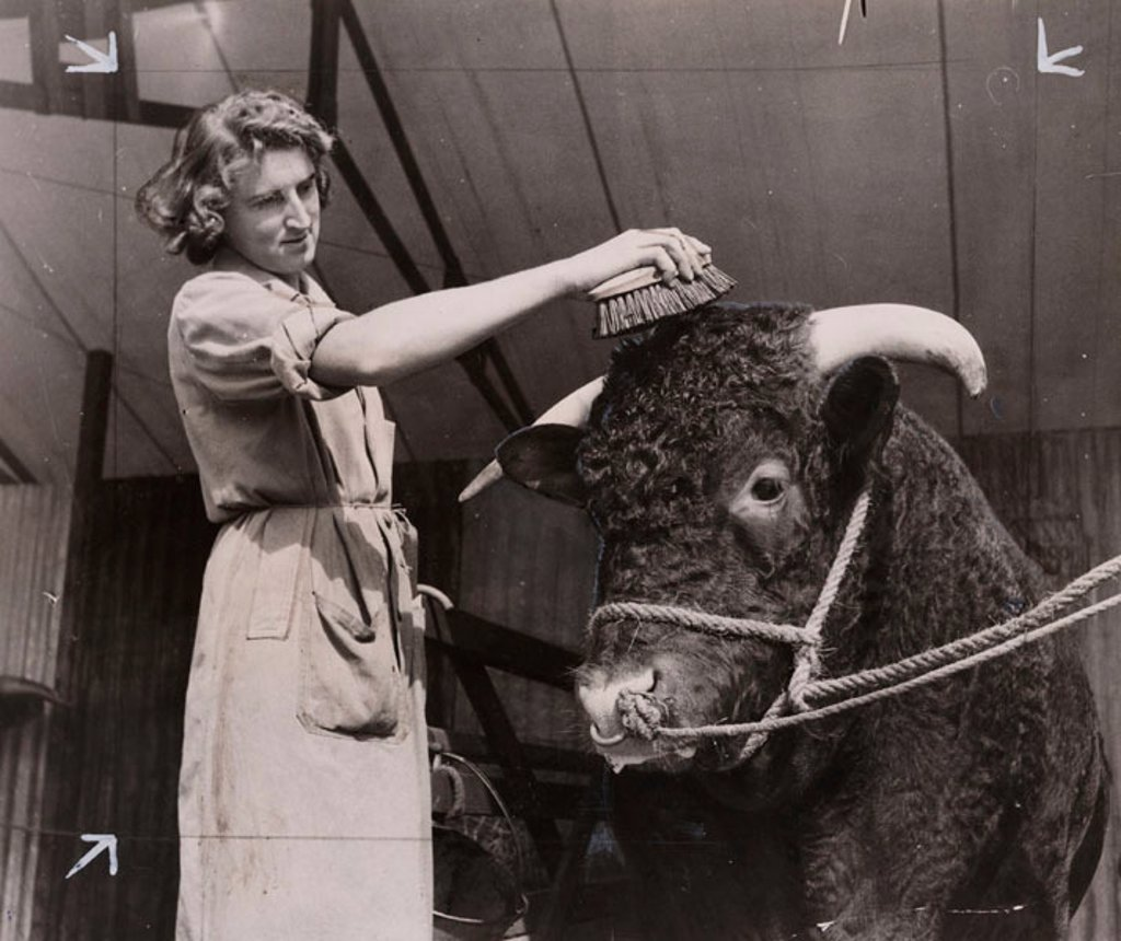 Bull being groomed at agricultural show, 31 August 1948. : Stock Photo