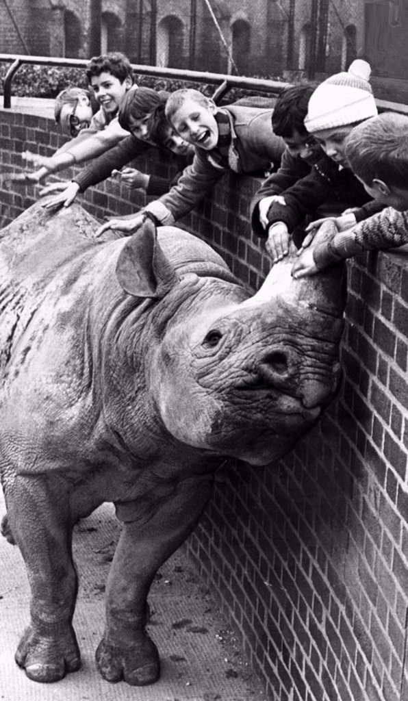 Stock Photo: 1895-45373 Black rhino, London Zoo, November 1969.