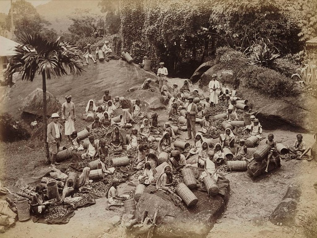 Stock Photo: 1895-46369 Tea pluckers sorting out coarse tea leaves, Ceylon, c 1870