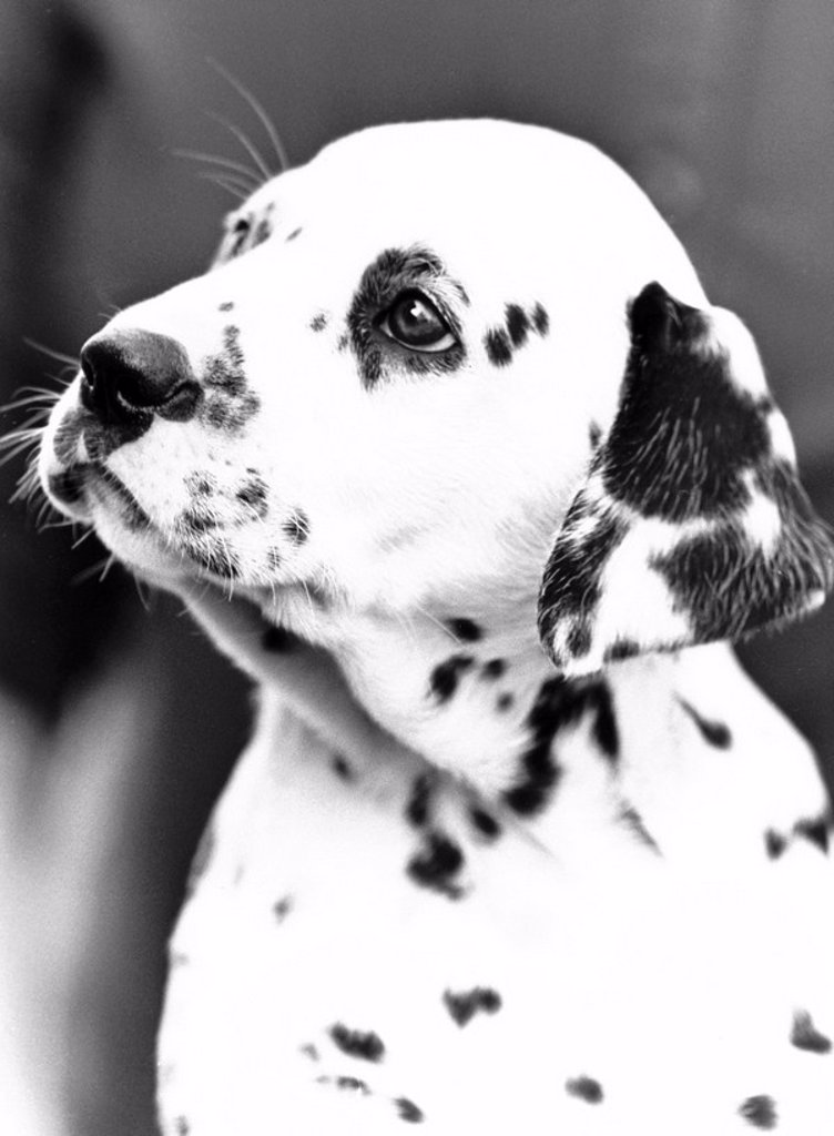 Stock Photo: 1895-48096 Polly the dalmatian, April 1987.