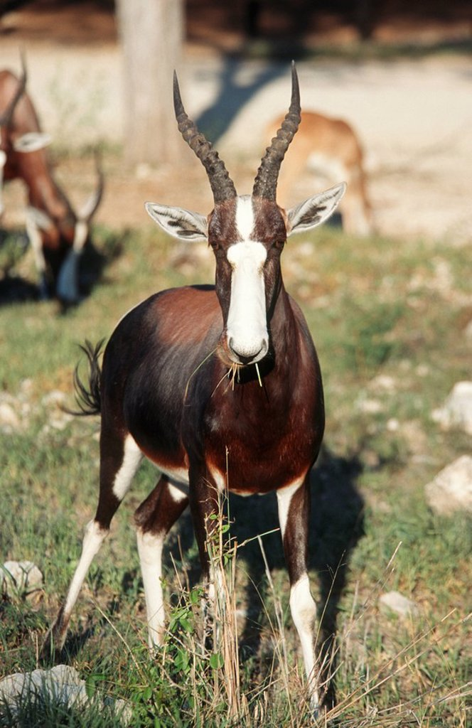 Stock Photo: 1896R-1011 Portrait of a Bontebok Damaliscus Dorcas Ram Eating Grass  Mokuti District, Namibia