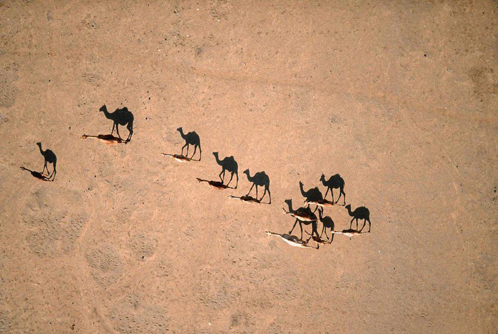 Turkana Camel Herd - Directly Above  Lake Logipi, Kenya : Stock Photo
