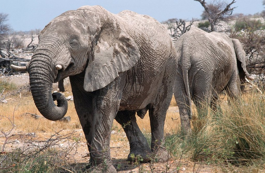Stock Photo: 1896R-1096 African Elephant Loxodonta africana Pair Standing Back to Back in the Bushveld  Etosha National Park, Namibia