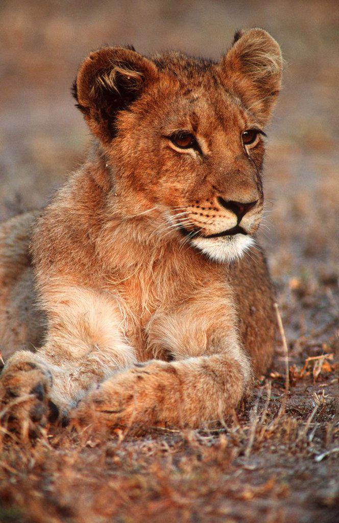 Portrait of a Lion Cub Panthera leo Lying in the Bushveld  Mala Mala Private Reserve, Mpumalanga Province, South Africa : Stock Photo