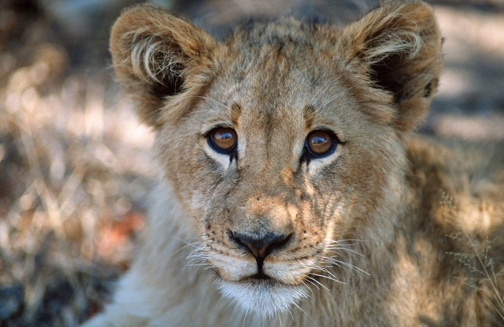 Close-up portrait of a Lion Cub Panthera leo  Moremi Wildlife Reserve, Okavango Delta, Botswana : Stock Photo