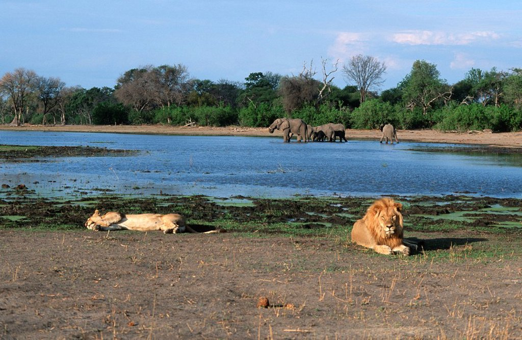 Stock Photo: 1896R-1351 Lion Panthera leo Pair Lying Down with African Elephant Loxodonta africana Herd at the Waterhole in the Background  Moremi Wildlife Reserve, Botswana