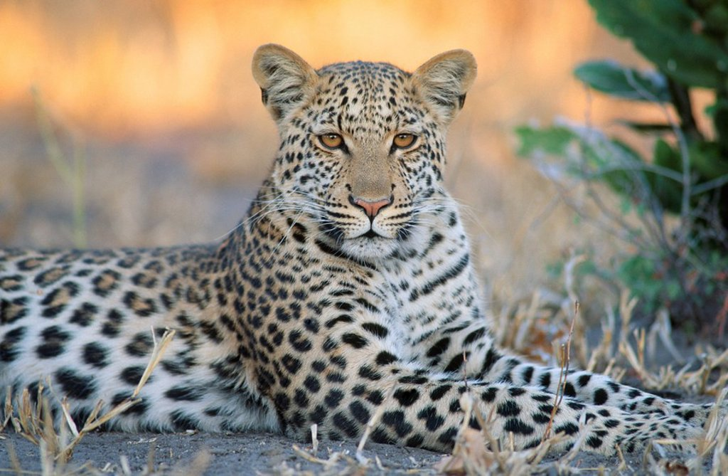 Portrait of a Leopard Panthera pardus Lying Down in the Bushveld  Savuti, Chobe National Park, Botswana : Stock Photo