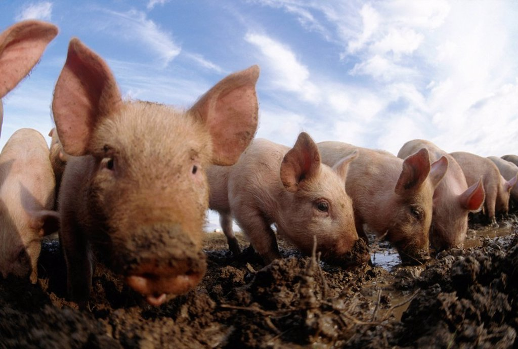 Stock Photo: 1896R-1447 Row of Free Range Piglets with Their Snouts in the Mud  England, United Kingdom
