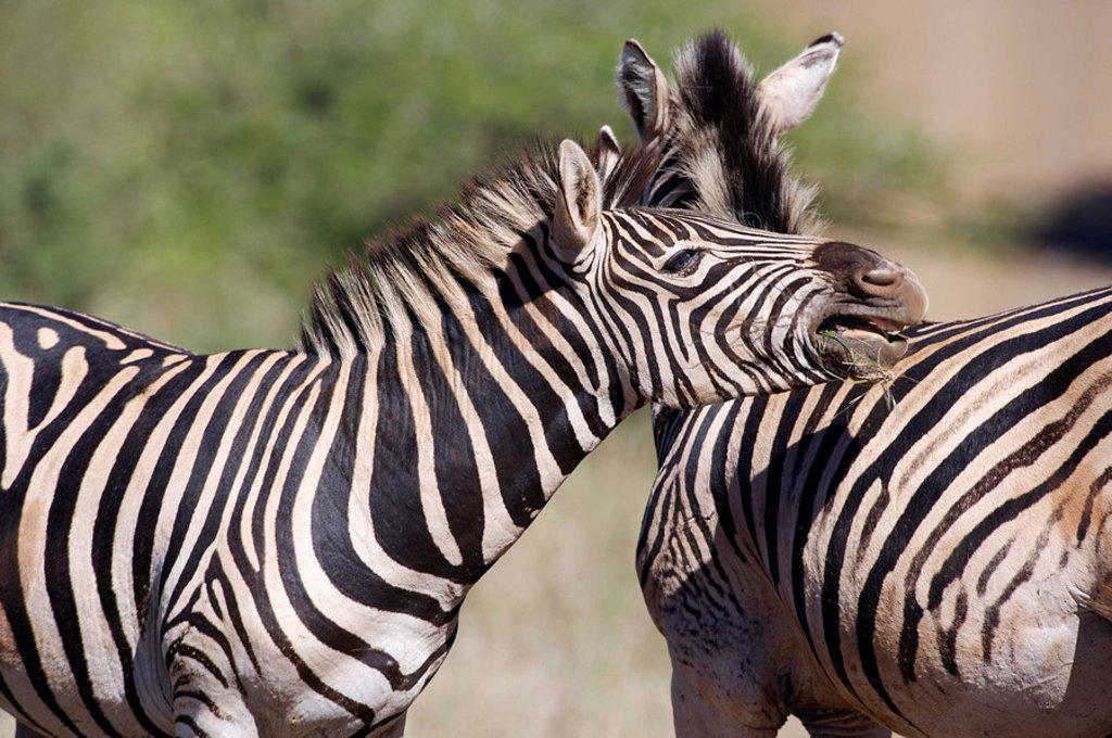 Stock Photo: 1896R-1519 Burchells Zebra Equus burchellii Interacting  Hluhluwe Umfolozi Park, KwaZulu Natal Province, South Africa