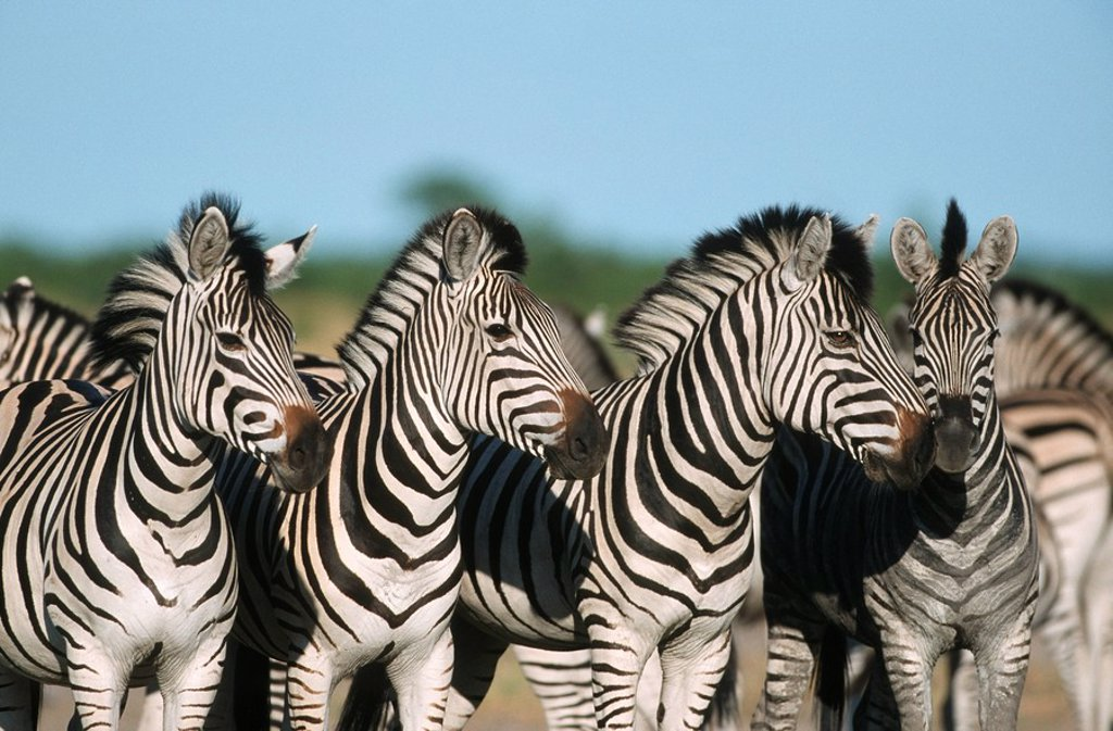 Portrait of a Herd of Burchell´s Zebra Equus burchellii in the Bushveld  Savuti, Chobe National Park, Botswana : Stock Photo