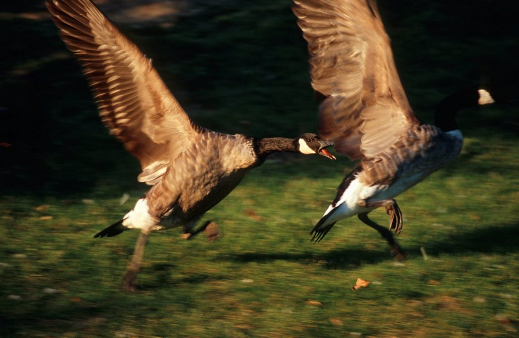 Portrait of Canada Geese Branta canadensis Taking Off  Dayton District, Ohio State, United States of America : Stock Photo