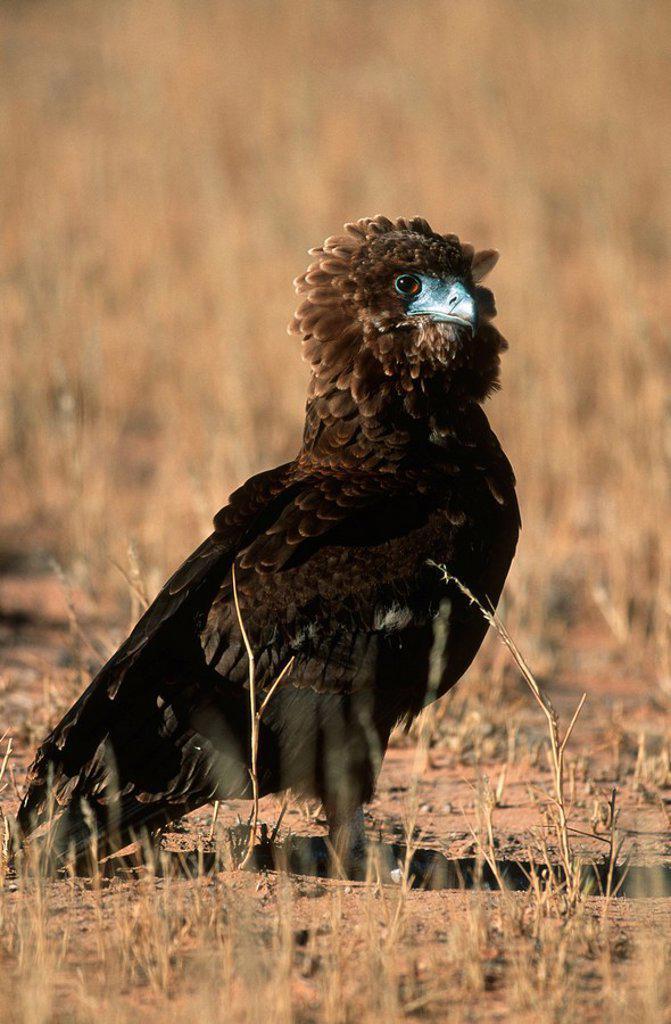Stock Photo: 1896R-1594 Close-up of a Bataleur Eagle Terathopius ecaudatus in the Veld  Moremi Wildlife Reserve, Botswana