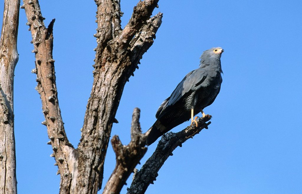 African Harrier Hawk Gymnogene Polyboroides typus Perched in a Tree  Kruger National Park, Mpumalanga Province, South Africa : Stock Photo
