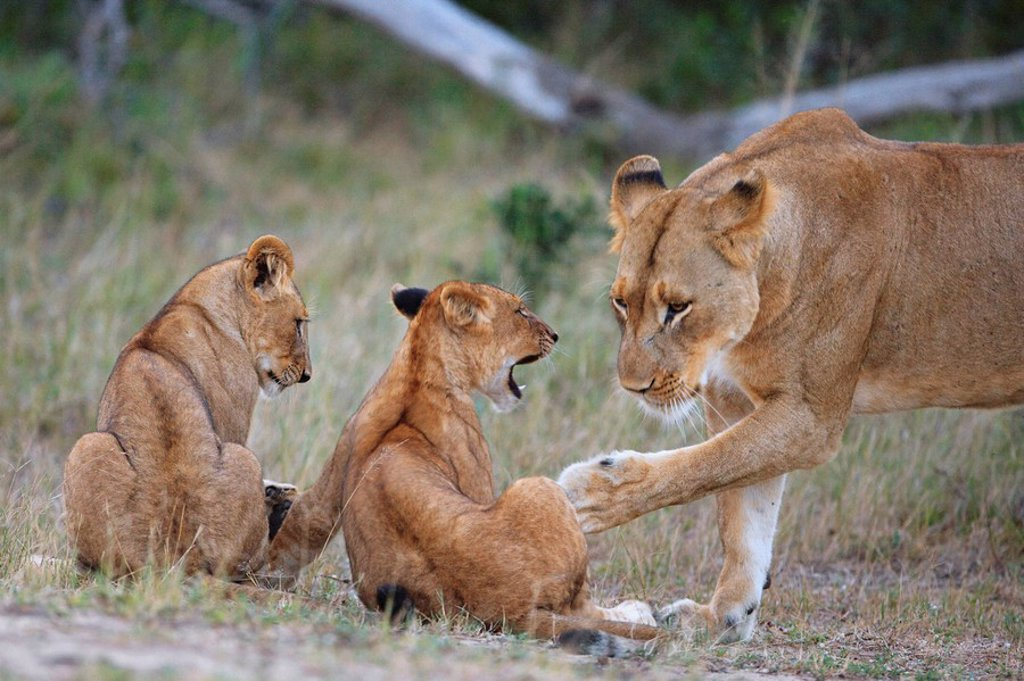 Lioness Panthera leo, gently swatting one of her cubs : Stock Photo