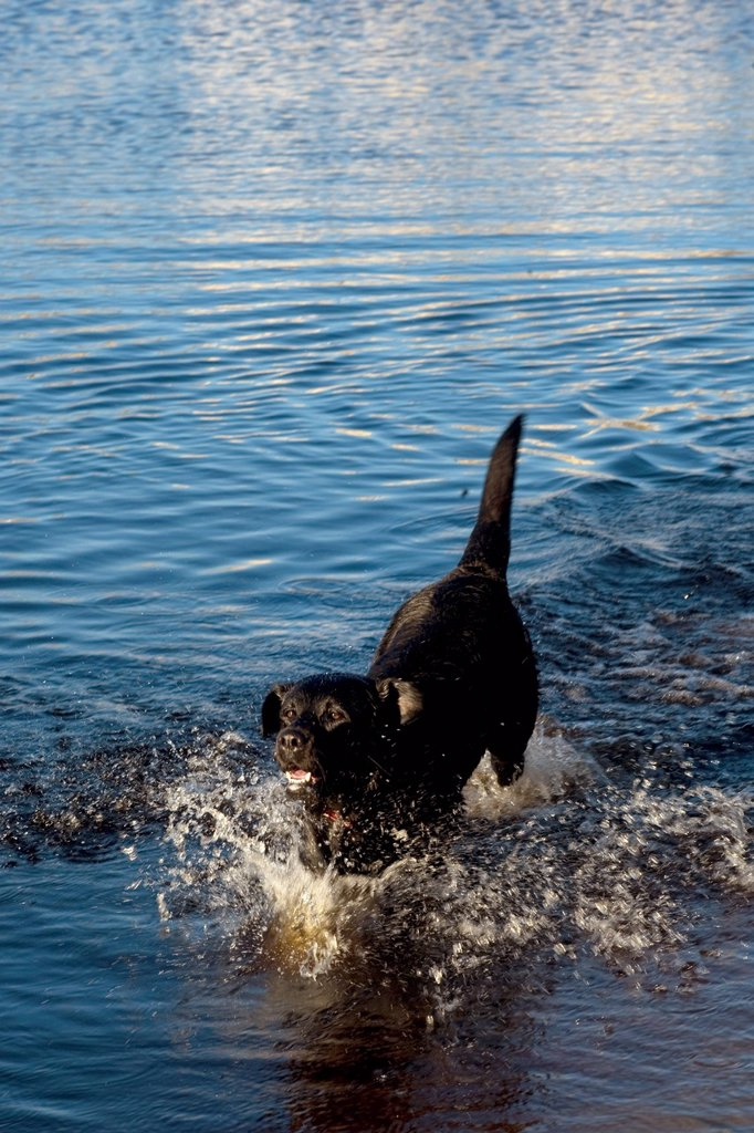 Dog in water at Sandvlei Dam, near Muizemberg, Cape Town, Western Cape Province, South Africa : Stock Photo
