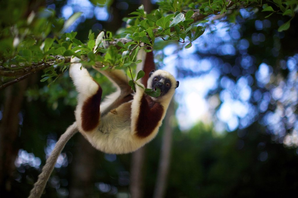 Stock Photo: 1896R-17142 A Coquerel´s Sifaka eating leaves, Palmarium, Madagascar