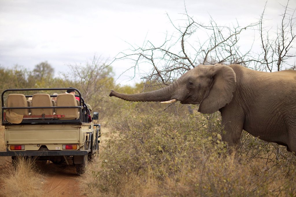 Stock Photo: 1896R-17308 An Elephant walking towards a safari vehicle, Pondoro Game Lodge, Balule Private Nature Reserve, Limpopo. South Africa