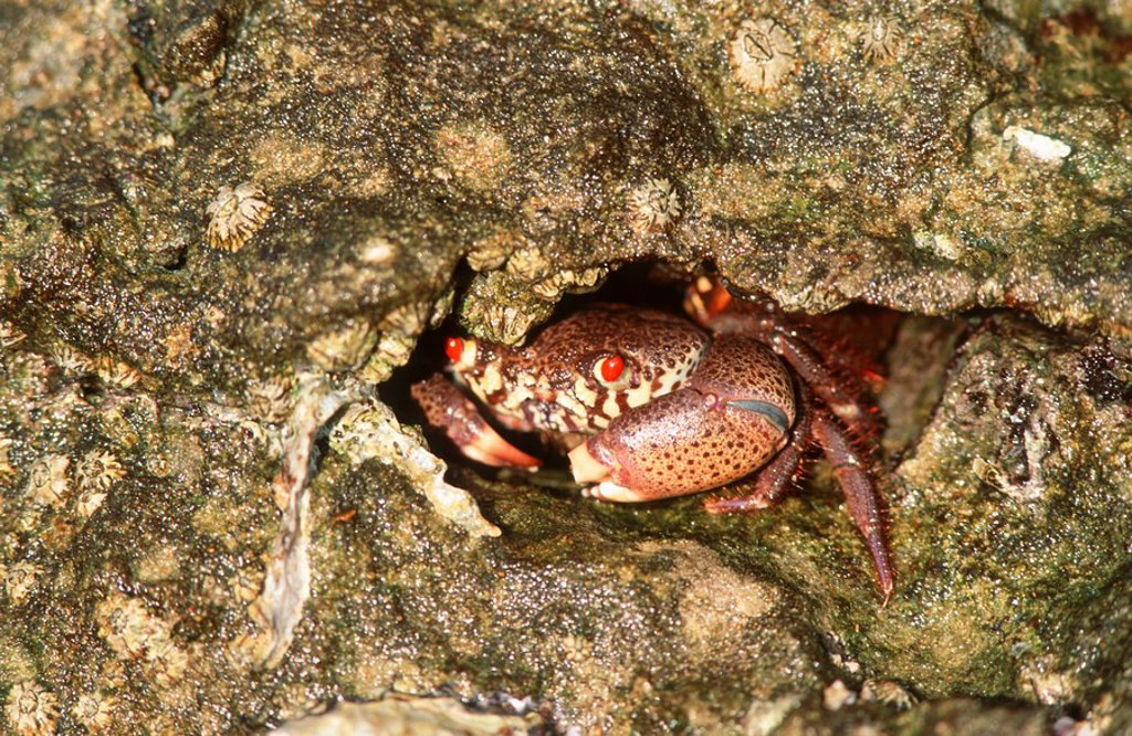 Rock Crab Cancer irroratus Hiding in a Rock Crevice  Mission Rocks, Greater St Lucia Wetlands Park, KwaZulu Natal Province, South Africa : Stock Photo