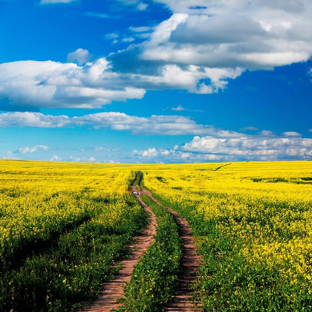 Stock Photo: 1896R-17455 Path in canola field under cloudy blue skies, Swartland, South Africa