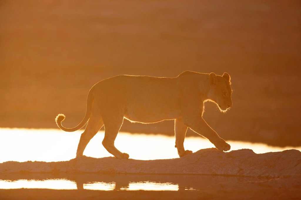 A Lioness at a watering hole, Etosha National Park, Etosha, Namibia : Stock Photo
