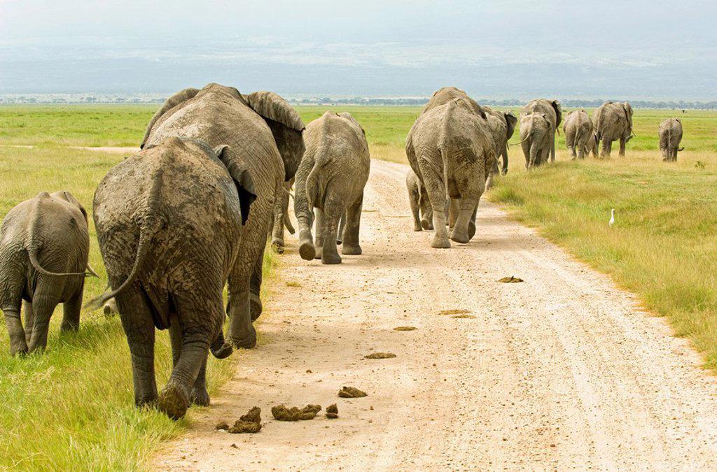 Herd of Elephants Loxodonta walking away, Amboseli National Park, Kenya : Stock Photo