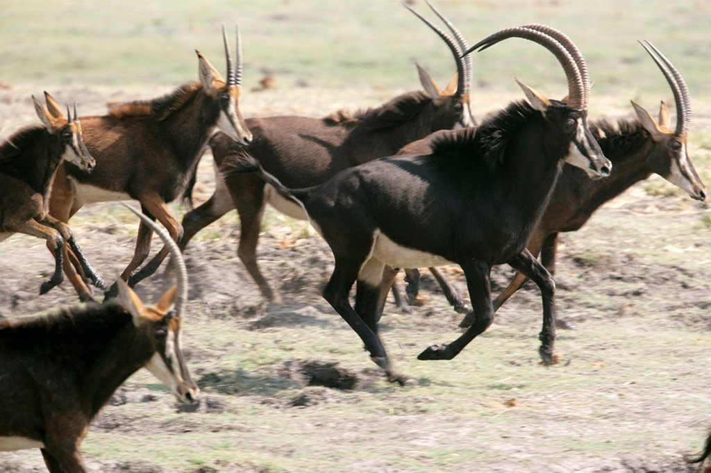 Sable Antelope Hippotragus niger, Chobe River, Botswana : Stock Photo