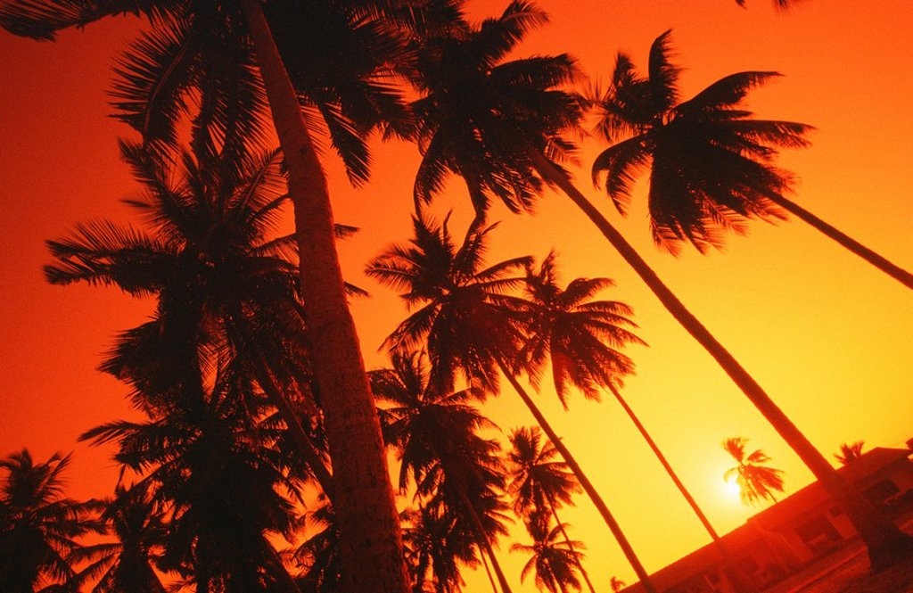 Stock Photo: 1896R-2991 A Upward View Of Palm Trees Silhouetted By the Sunset  Elmina, Ghana, West Africa