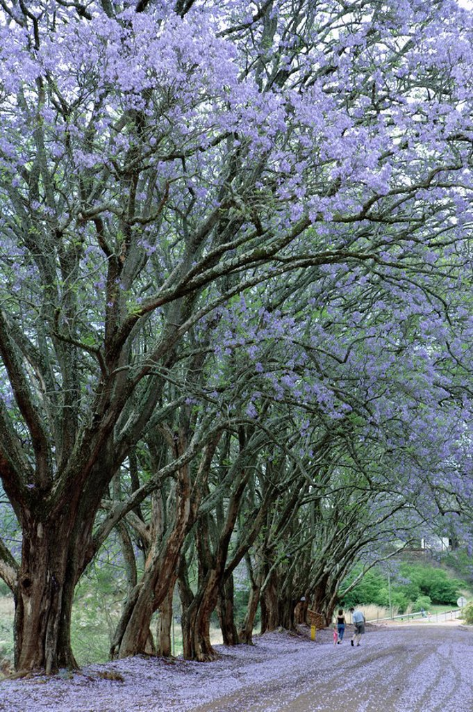 Portrait of a Street Lined with Jacaranda Trees  Pilgrim´s Rest, Mpumalanga Province, South Africa : Stock Photo