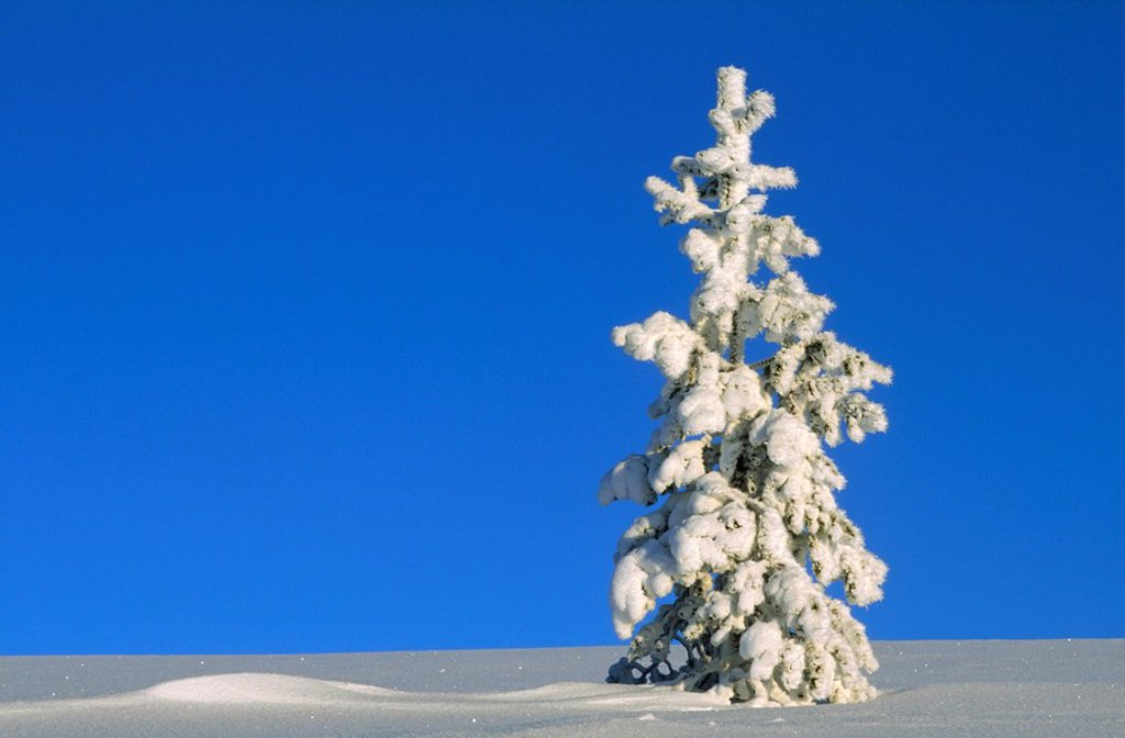 Stock Photo: 1896R-4607 Sunlight on a Tall,Snow Covered Pine Tree  Langfjallet, Dalarna, Sweden