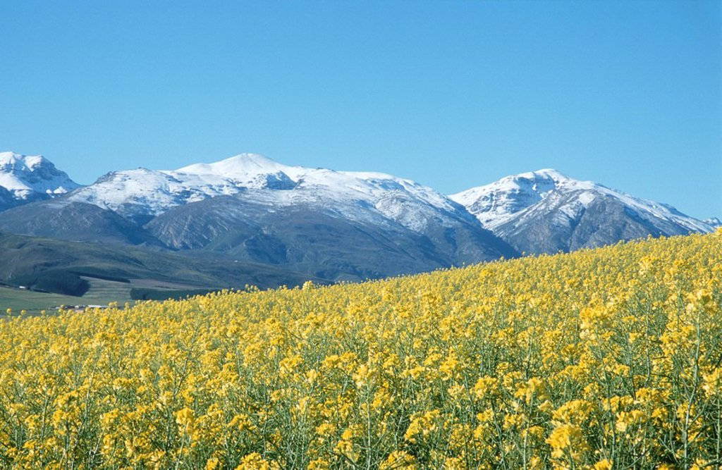 Canola fields and snow covered mountains in the Overberg. Western Cape Province, South Africa : Stock Photo