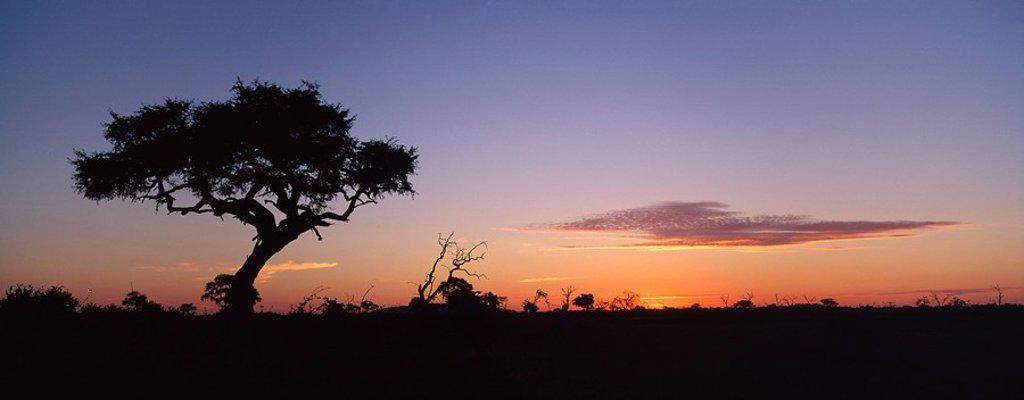 Acacia tree at sunset in the summer. Chobe National Park, Botswana, South Africa : Stock Photo