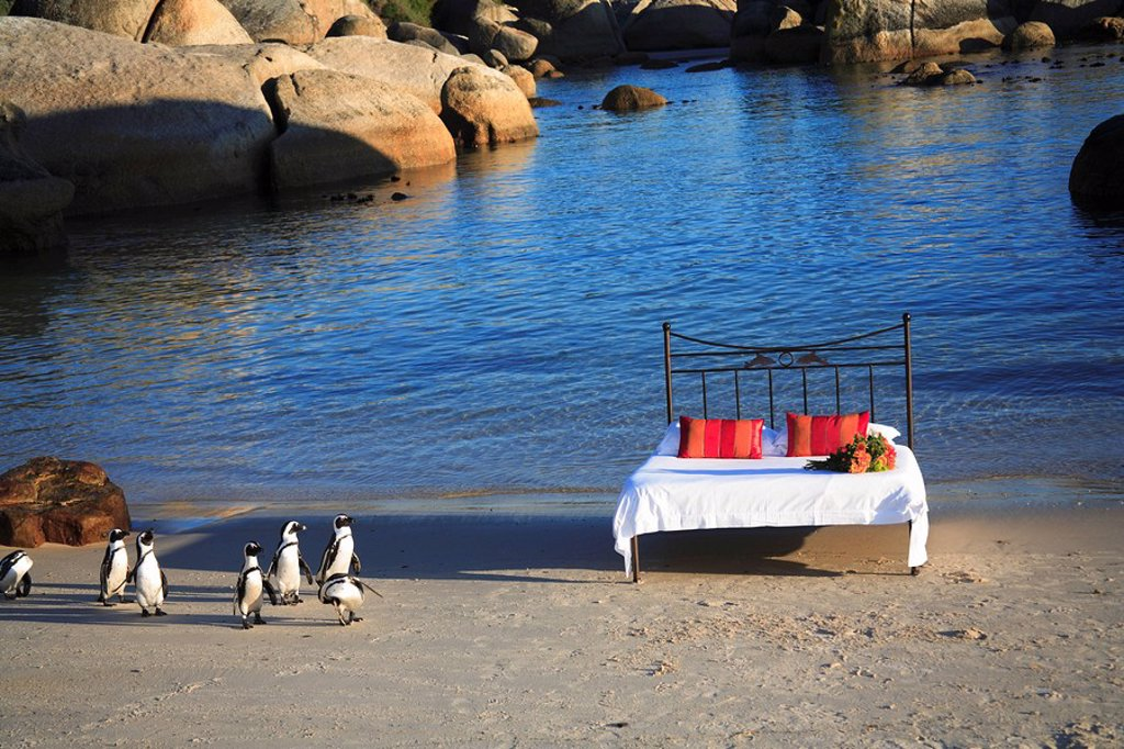Penguins strolling up to a bed on Boulders Beach, Simonstown, Western Cape Province, South Africa : Stock Photo