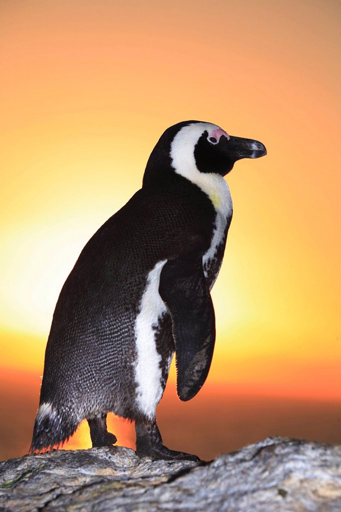 African Penguin at sunset on Boulders Beach, Simonstown, Western Cape Province, South Africa : Stock Photo