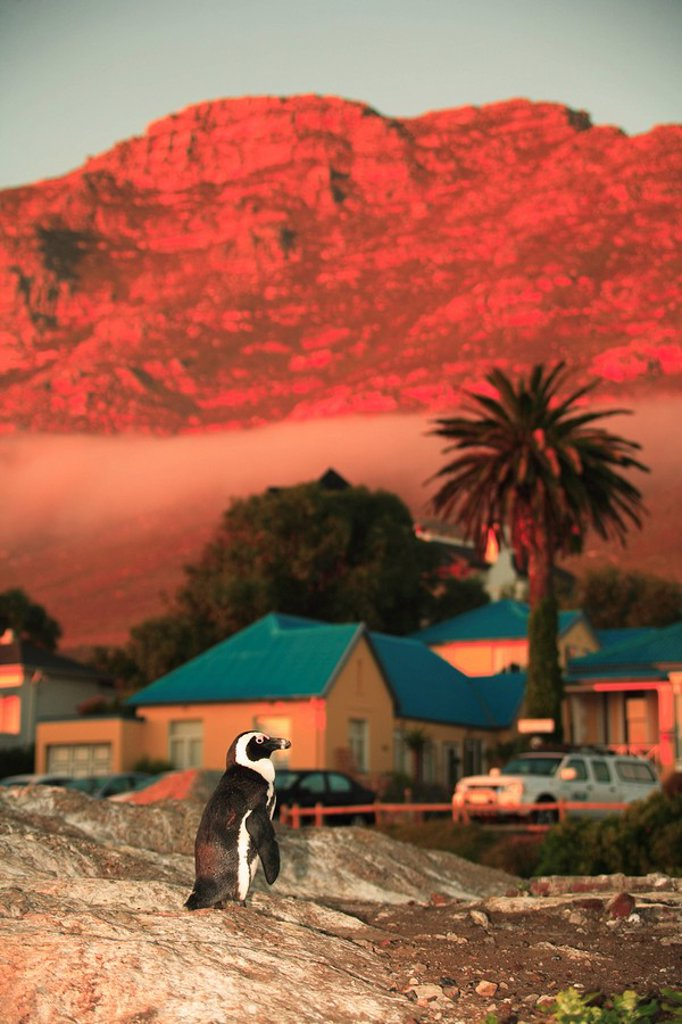 African Penguin in front of Boulders Beach Lodge, Simonstown, Western Cape Province, South Africa : Stock Photo