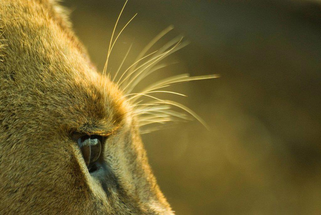 Close up of a female lion Panthera leo brow. Mala Mala Private Reserve, Mpumalanga Province, South Africa. : Stock Photo
