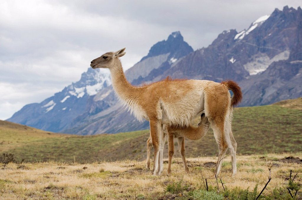 Stock Photo: 1896R-7337 Guanaco Lama guanicoe Baby Suckling from its Mother  Torres del Paine National Park, Chile, South America